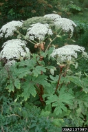 Giant Hogweed. Barbara Tokarska-Guzik, University of Silesia, www.forestryimages.org.